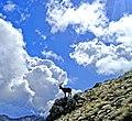 Alpi orobie - Pizzo Tre Signori - stambecco.jpg