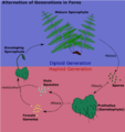 Alternation of generations in ferns.png