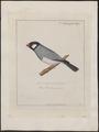 Amadina oryzivora - 1700-1880 - Print - Iconographia Zoologica - Special Collections University of Amsterdam - UBA01 IZ15900185.tif