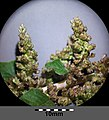 Amaranthus viridis sl34.jpg