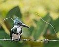 Amazon Kingfisher (f) (27182618319).jpg