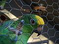 Amazona ochrocephala -upper body -captivity-8.jpg