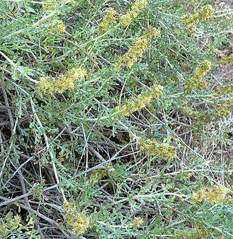 Ambrosia dumosa - Image: Ambrosia dumosa 2