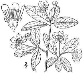 Description de l'image Amelanchier bartramiana drawing.png.