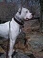 American Bulldog Dixie.jpg