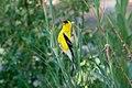American Goldfinch (male) Eagle Rock Lake Red River Canyon NM 2019-07-09 08-56-44 (48248650091).jpg