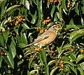 American Robin (15240132524).jpg