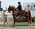 American Saddlebred3.jpg