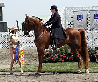 American Saddlebred American horse breed