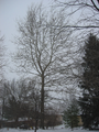 American Sycamore Winter.png