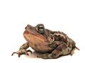 American Toad (Bufo americanus) (6216086121).png