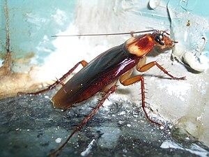 American cockroach (Periplaneta americana) fee...