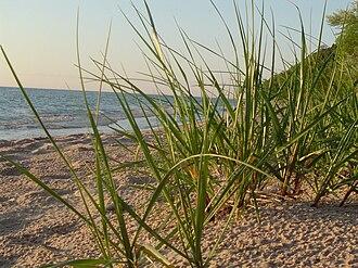 Ammophila breviligulata - American beachgrass on Lake Michigan in Spring.