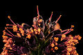 Amorpha fruticosa, md, upper marlboro 2014-06-04-12.51.09 ZS PMax (14421932604).jpg