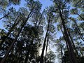 An autumn day in the Watagans' Pines Picnic area.jpg