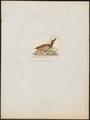 Anas boschas - 1820-1863 - Print - Iconographia Zoologica - Special Collections University of Amsterdam - UBA01 IZ17600381.tif