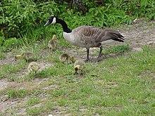 Anatidae-goose and chicks.jpg