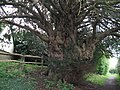 Ancient Yew west of Barlavington - geograph.org.uk - 1246615.jpg