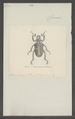 Ancistrosoma - Print - Iconographia Zoologica - Special Collections University of Amsterdam - UBAINV0274 020 06 0019.tif