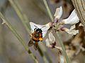 Andrena vachali female 1.jpg