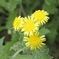 Andryala glandulosa ssp. cheiranthifolia-IMG 4509.jpg