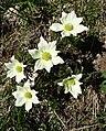 Anemone des Alpes (pulsatilla alpina) (1).jpg