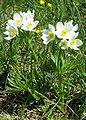 Anemone narcissiflora a1.jpg