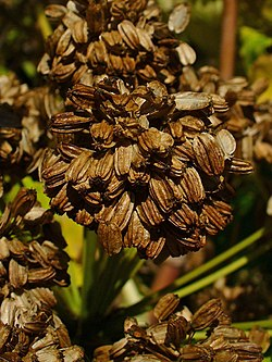 Angelica archangelica 003.JPG