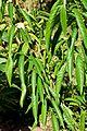 Annona reticulata in Jardin des Plantes de Toulouse 01.jpg