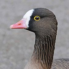 Anser erythropus -WWT Slimbridge, Gloucestershire, England -head-8a.jpg