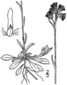 Antennaria howellii canadensis BB-1913.png