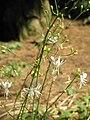 Anthericum ramosum01.jpg