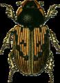 Aphodius inquinatus Jacobson.png