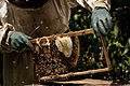 Apis Melifera africanized bees on comb.jpg
