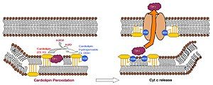 Cardiolipin - The mechanism whereby CL triggers apoptosis