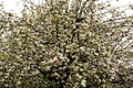 Apple-Flowers-Tree ForestWander.JPG
