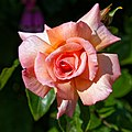 Apricot rose bloom at Boreham, Essex, England.jpg