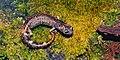 Aquiloeurycea cephalica, Chunky False Brook Salamander, Tamaulipas.jpg