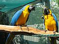 Ara ararauna -two in aviary-8a.jpg