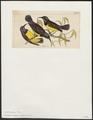 Arachnothera zeylonica - 1820-1860 - Print - Iconographia Zoologica - Special Collections University of Amsterdam - UBA01 IZ19000185.tif
