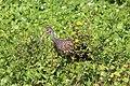 Aramus guarauna (Limpkin) 03.jpg
