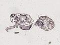 Araneae (YPM IZ 093468).jpeg