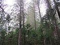 Araucaria forest (8700169127).jpg