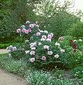 Arboretum Ellerhoop - Blühende Strauch-Pfingstrose.jpg