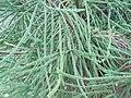 Arboretum de Bagnoles - Cryptomeria japonica 'araucarioides' (feuillage).jpg