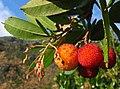 Arbutus unedo (frutu).jpg