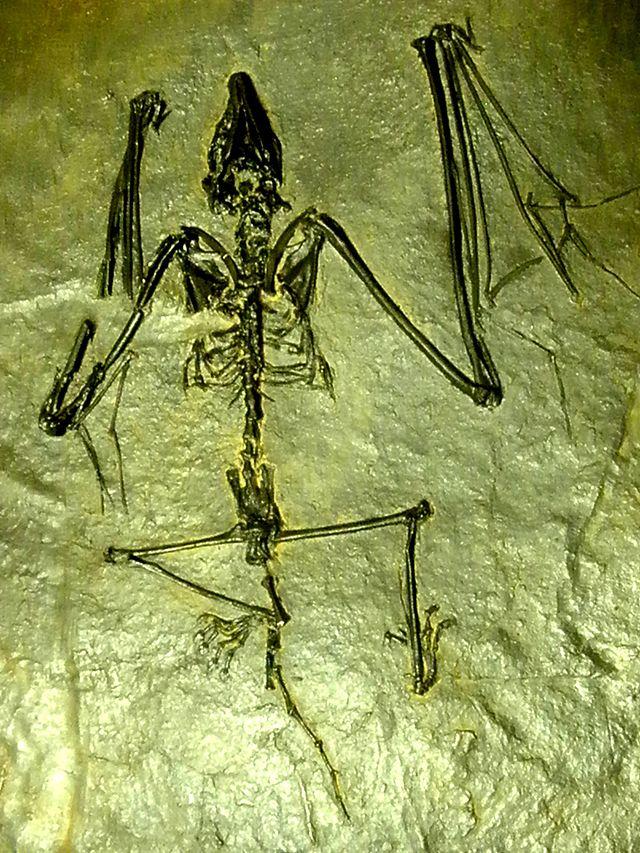 http://upload.wikimedia.org/wikipedia/commons/thumb/9/9b/Archaeonycteris.JPG/640px-Archaeonycteris.JPG
