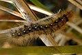 Arctiidae caterpillar - lindsey.jpg