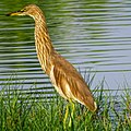 Ardeola grayii, Indian pond heron 7.jpg