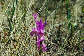 Arethusa bulbosa, Black Fen.jpg